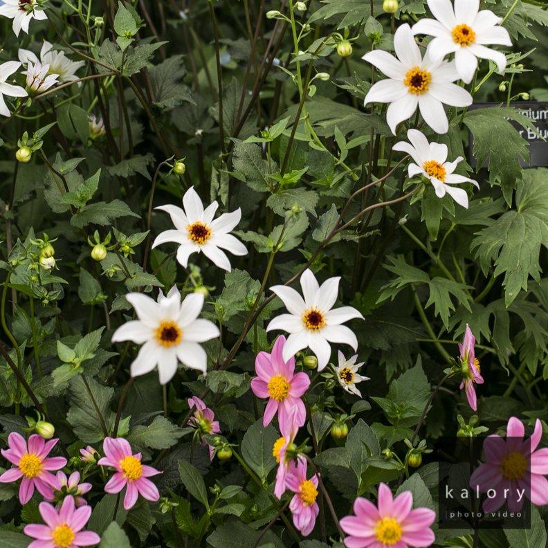 retailer sponsors chelsea flower show